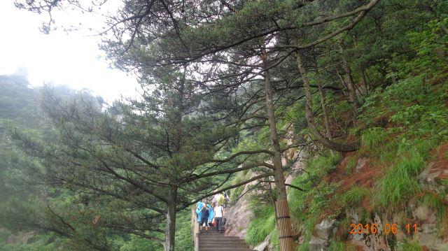 安徽珍贵树木排行榜图片