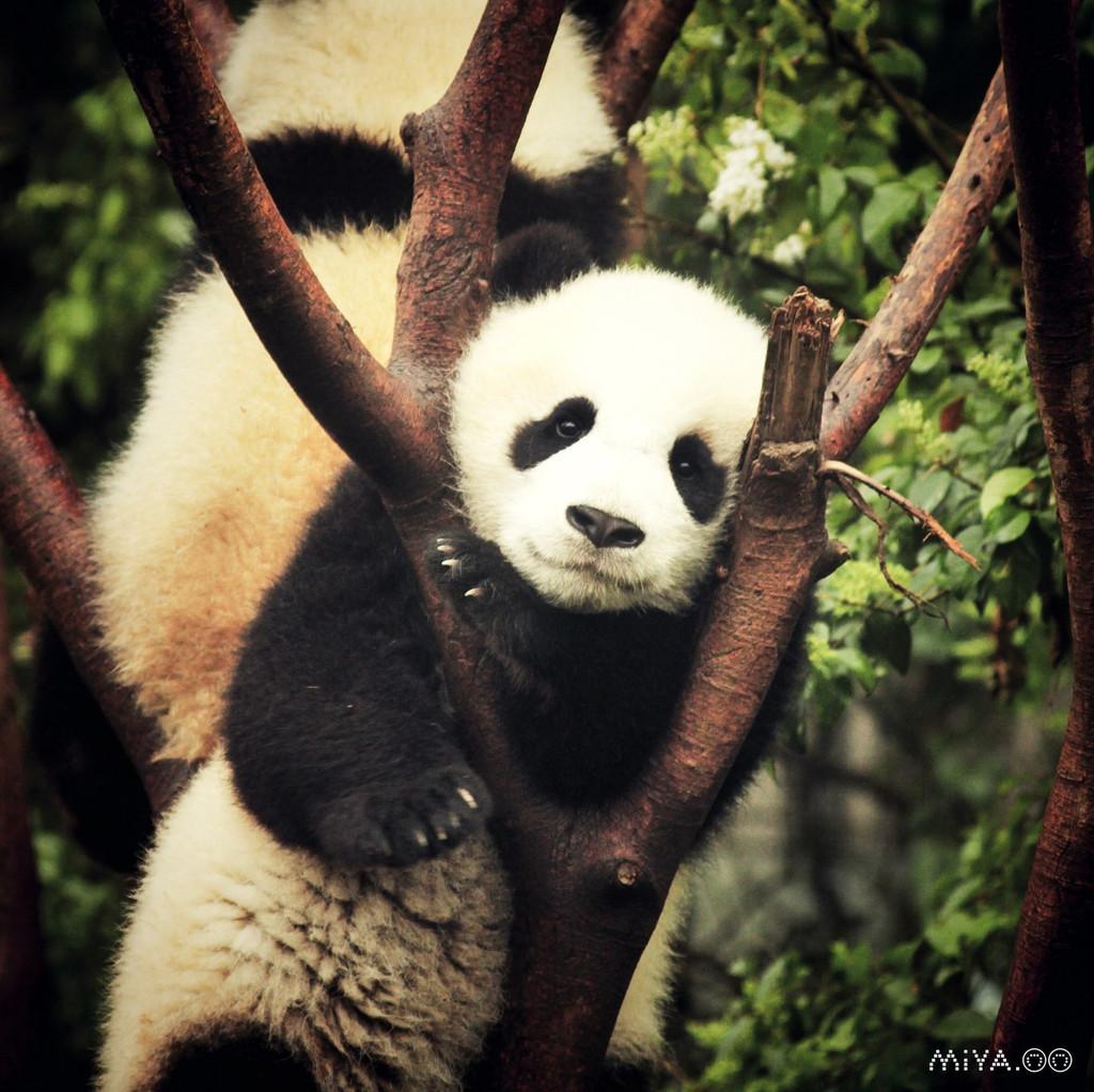 成都 喝茶遛街唠嗑吃著串串逗熊猫