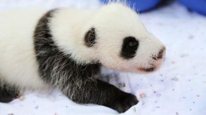 中心上海基地(上海野生动物园)首次成功繁殖了一只可爱的大熊猫宝宝!