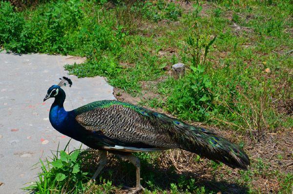 孔雀是不是保护动物