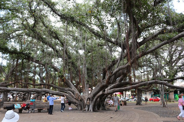 这棵榕树是全美国最大的榕树之一,种植于1873年4月24日,以纪念基督传
