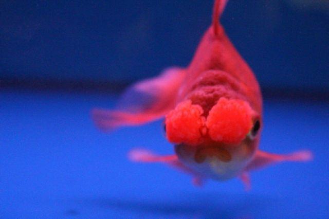 金鱼吃食的样子很可爱.