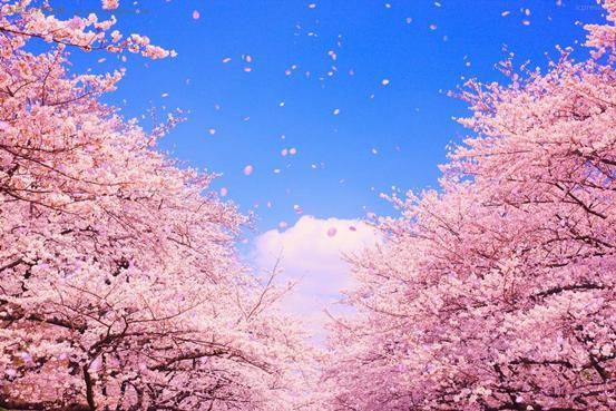 日本手绘樱花单朵