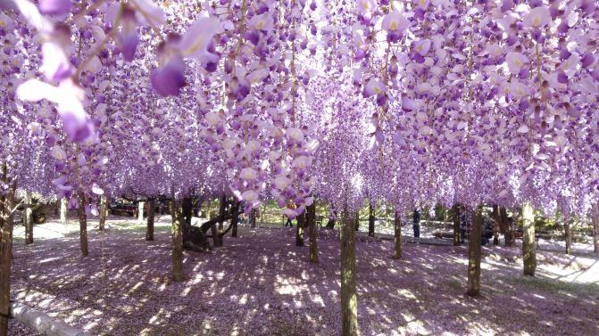 5月,世界十大绝景之一的日本紫藤花隧道,你去了吗?