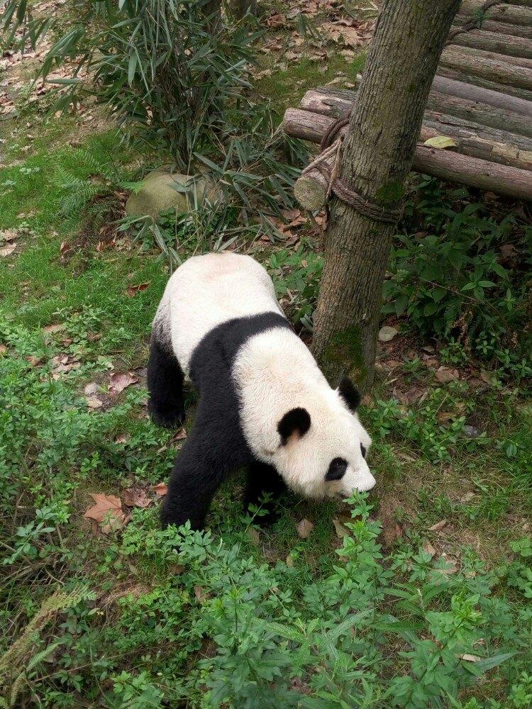 可爱的大熊猫是我国国宝