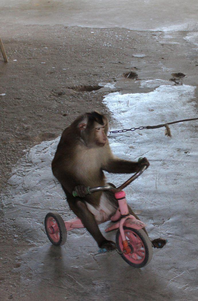 我的2015#【泰国之旅】弥猴表演,畸形动物世界