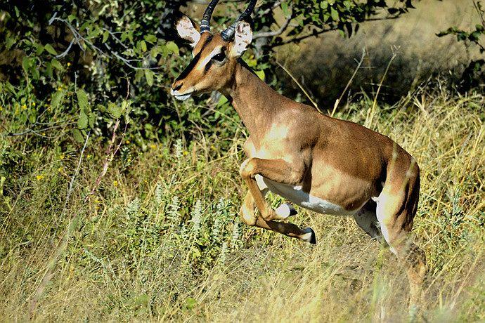 第二天,(5月3日)溫得和克埃托沙國家公園 埃托沙國家公園面積二萬三千多平方公里,是非洲最大的動物保護區之一,也是非洲最重要的野生動物保護區。公園地貌主要為經過十億年形成的含有礦物質大片盆地,俗稱鹽鹼沙地。這里沒有肯尼亞的遼闊草原,也沒有百萬角馬過河的場景,但這里的動物種類有114種,鳥類多達340種,特別是瀕臨滅絕的黑眼斑羚和黑犀牛尤為珍貴,有著野生動物的最後樂園之稱清早從溫得和克出發一路行駛五個多小時,中午時分抵達公園大門口(見上圖),午餐在這里的餐廳解決,餐廳女服務員非常可愛。