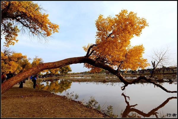 每年秋天,九月底到十月中旬的金色秋天,是胡杨树魅力尽展的最美