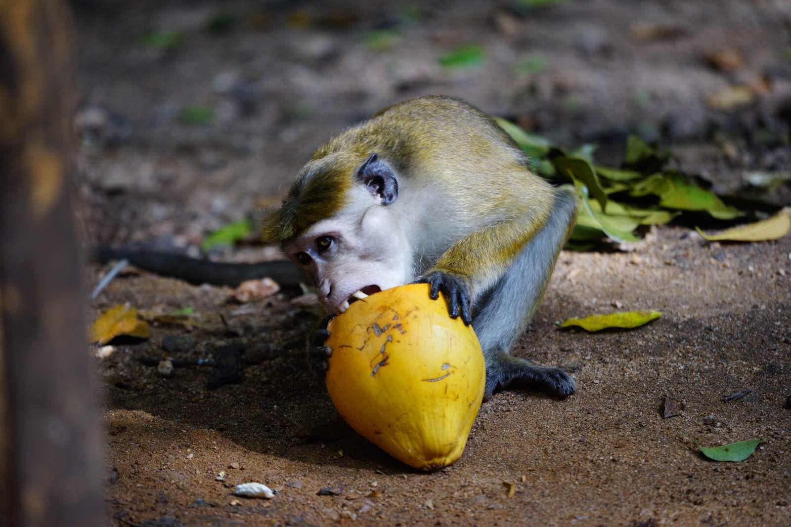 正啃着,旁边的树林里走出来一群小猴子,丢玉米粒给它们吃,几个大胆的