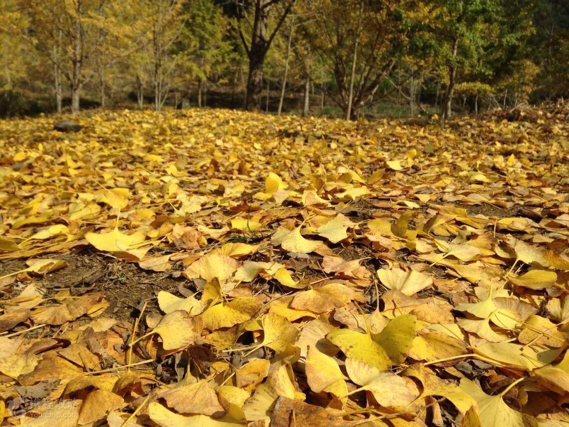 每年的11月中旬到12月,在韶关南雄的坪田村,一颗颗千年的银杏树的叶子