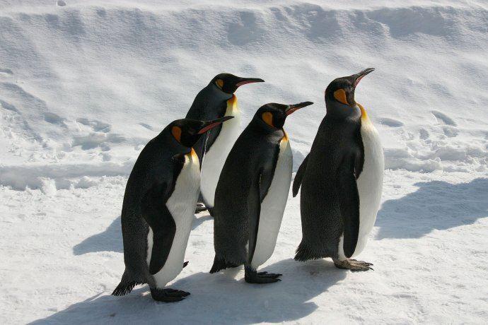 憨态可掬的企鹅在雪地里悠闲自在的散步