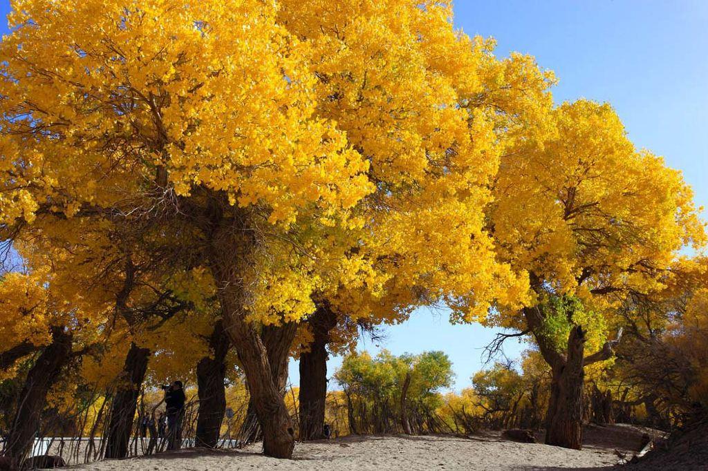 夏季,这些树龄有二,三百年的胡杨树树冠圆簇,绿云翻滚;而秋天,胡杨林