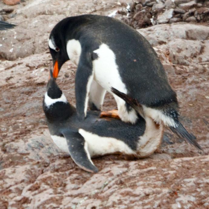 丹克岛是南极洲半岛上金图企鹅的领地,整座岛被冰雪所覆盖,凡是有礁石和岩块的地方,都有大量的企鹅在筑巢和孵蛋,冰雪为它们做床,蓝天为它们做被,它们就是在这种纯粹的大自然中繁衍着后代,为这个冰雪的世界增添了无限的光彩,成了南极的象征! 金图企鹅筑巢于丹克岛180米高的山顶,由于筑巢所需的石子奇缺,这里的金图企鹅为了繁衍后代经常发生偷窃事件和斗争, 没想到在这如此纯洁、与世无争的南极大陆,在这憨态可掬、若人爱怜的小企鹅身上也有如此龌龊的行为。