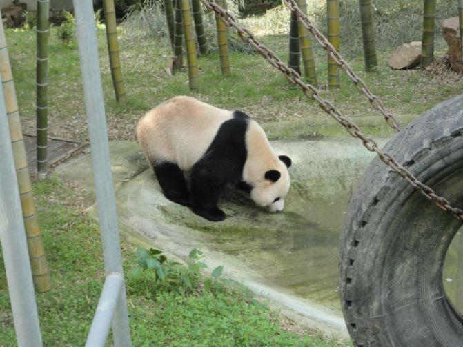 南山竹海特别打造的熊猫馆,占地面积一千多平方米,这座以熊猫为核心