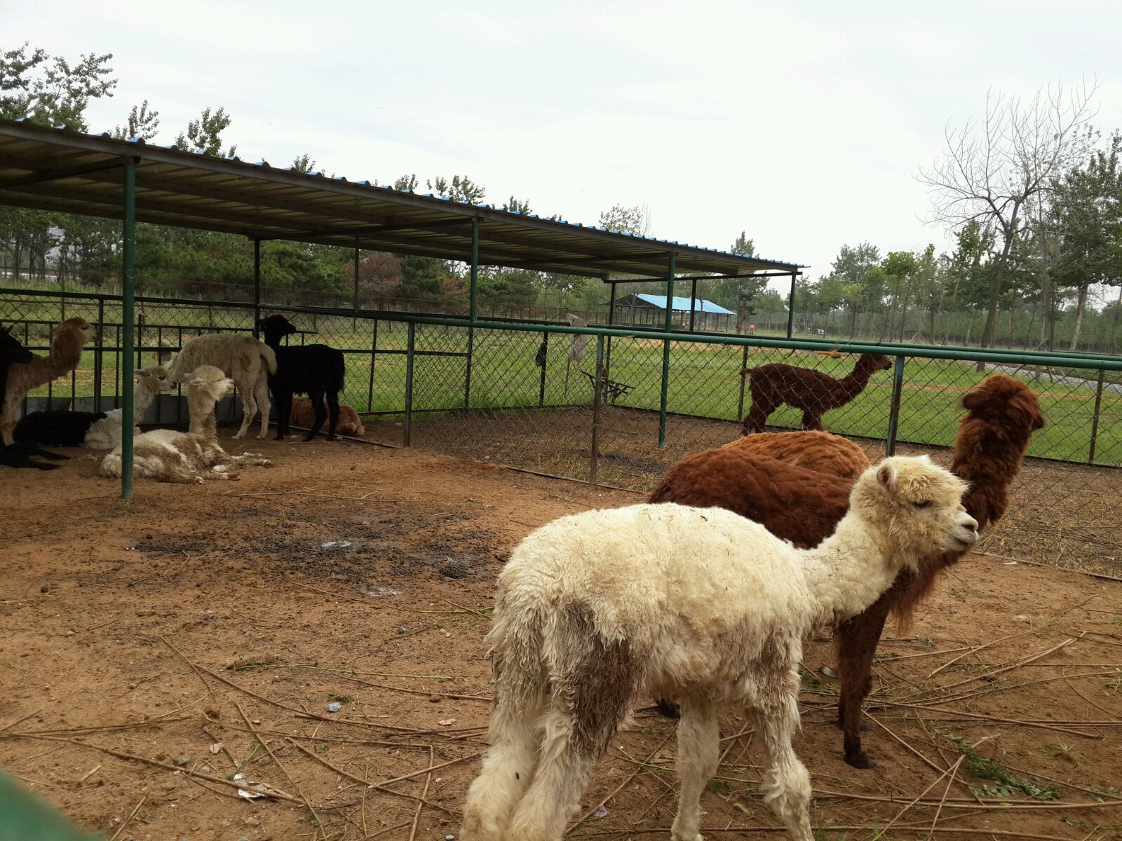 北戴河森林公园和野生动物园,传说中的散养动物.
