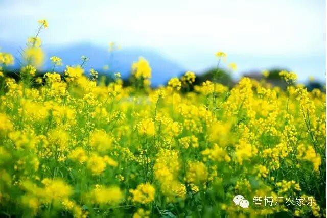 14:41                      春天来了,花儿开了,深圳鹏城美丽乡村