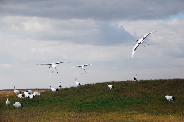 飞翔吧,丹顶鹤们!周围一片欢呼声和咔擦咔擦按快门声.