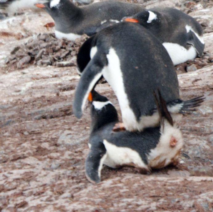 交配,偷石子,筑巢,孵蛋等 一系列有趣的照片,揭示了金图企鹅家族的