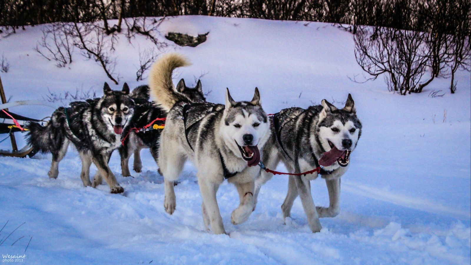 雪地里奔跑的动物