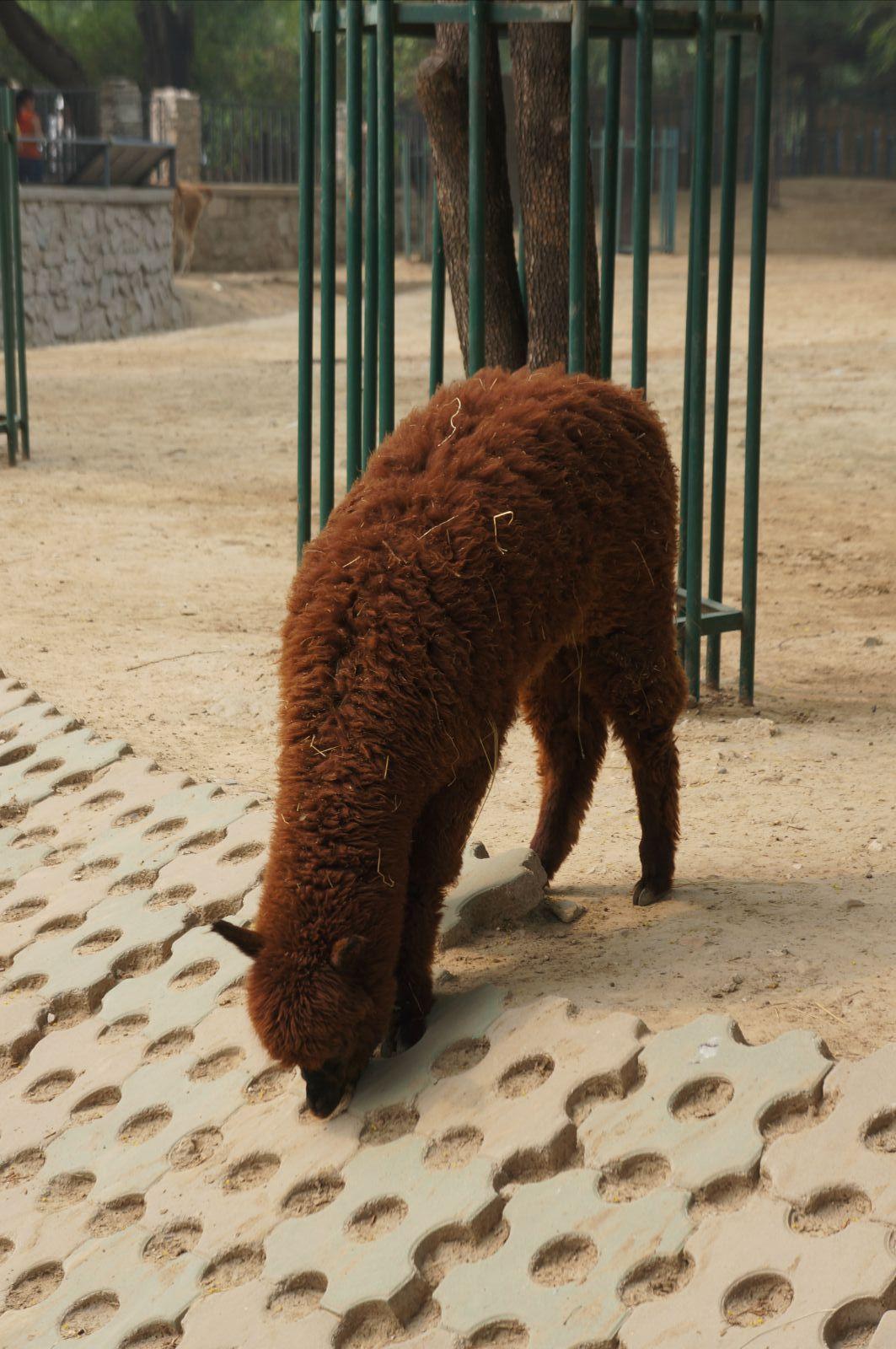北京动物园 貘  最爱还是马来貘,黑白家族又一萌物 北京动物园 鸟苑