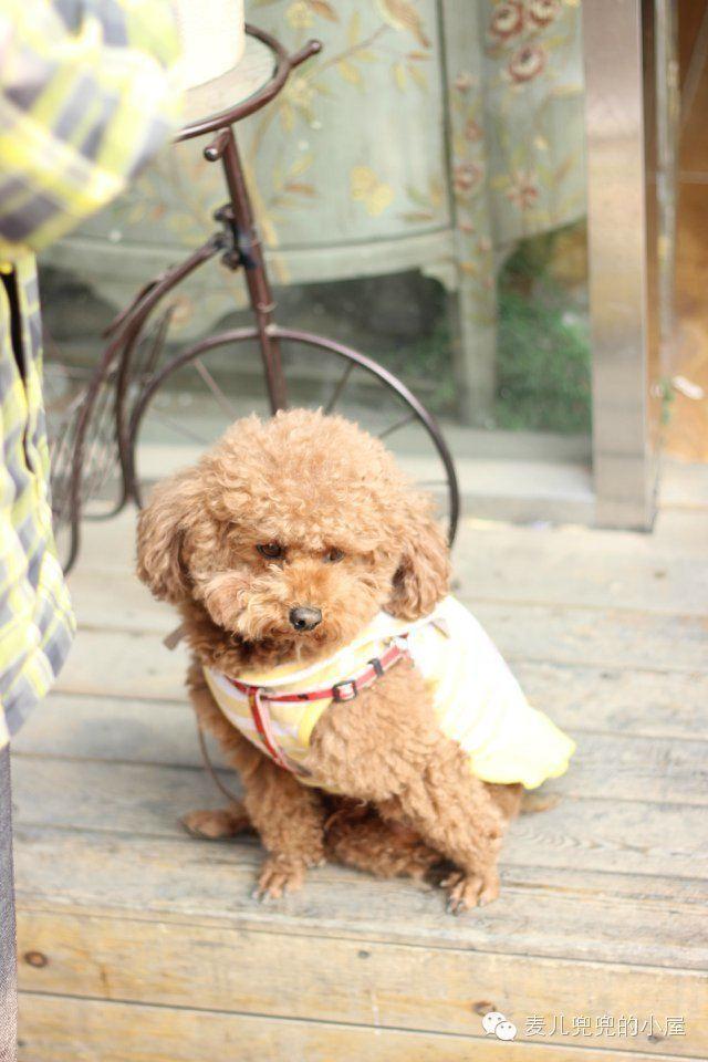 狗,作为人类最亲密的伙伴之一,对主人可谓是忠心耿耿,自古就有忠诚的美名。狗不嫌家贫,始终跟随主人,保护主人的利益,甚至在关键时刻能与主人同生死共患难。下面内容为最近比较火的狗狗给主人发短信,麦儿兜兜的小屋根据已拍摄的狗狗素材进行了分类及续写,让我们一起关爱狗狗。 (一)贪吃鬼 狗狗:我想吃巧克力
