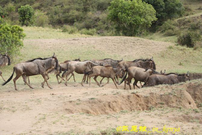 夜幕升起,长颈鹿吃饱后又走向了不知的远方。九、【旅行随感】1,肯尼亚旅行交通为越野车,或者金杯面包车,越野车空间大一点,由不同的费用或者选择而定。2、进入国家公园需要参加当地SAFARI,选择跟团游或者当地参团都可以。3、每天车程都5、6个小时,没有高速公路,只有柏油路和沙土路,很颠簸,体力消耗挺大的。4、肯尼亚的时差5个小时,对于晚睡的人还相对可以,还是有一定的影响,要注意调整睡眠。5、随身备用的泡腾片补充维生素,肯尼亚红茶非常棒,可以多喝热茶,可调理肠胃和提高免疫力。6、在肯尼亚主要是看动物,学习一些
