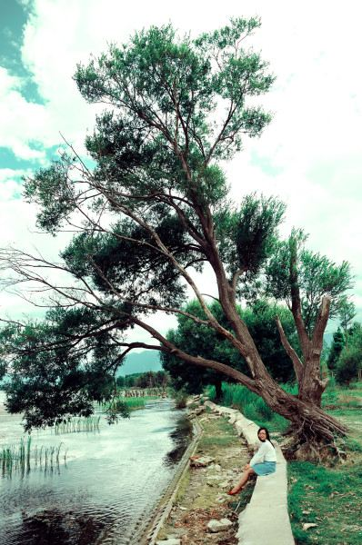 盆栽 树 松 松树