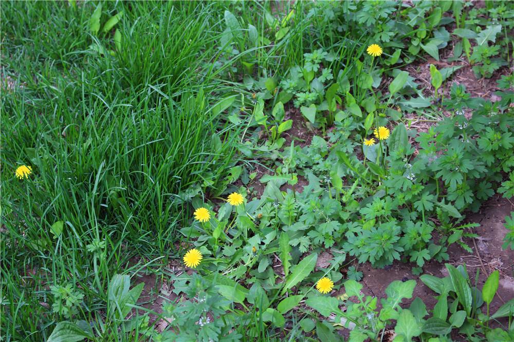春天来了,田野里,小路旁,公园里,到处都开满了小黄花,这就是蒲公英花