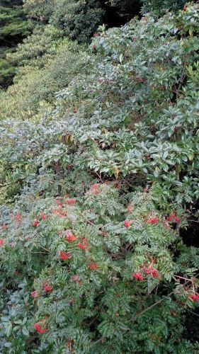 波叶红果树