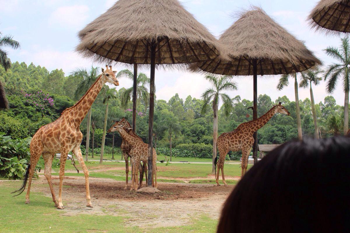 长隆野生动物世界 看见了爸爸去哪儿的房子