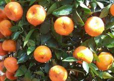 西山橘香园-苏州-小熊猫122
