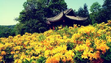 黄杜鹃园景之二