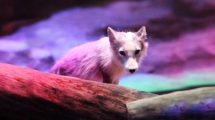海洋公园arctic_fox_den_bg01