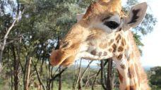 长颈鹿公园