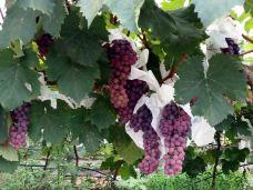 杨家现代葡萄产业园-绵阳