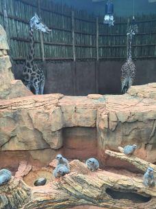 林肯公园动物园-芝加哥-当地向导芝加哥熊猫