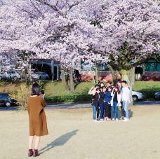 樱花大道-济州岛-2931093